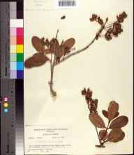 Laguncularia racemosa herbarium specimen collected in 1960 by Richard S Mitchell.