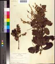 Laguncularia racemosa herbarium specimen from Port Everglades, Broward County in 1955 by Robert K Godfrey.