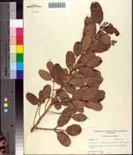 Laguncularia racemosa herbarium specimen from Bokeelia, Lee County in 1956 by Robert Kral.
