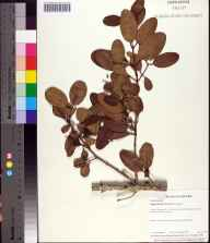 Laguncularia racemosa herbarium specimen from Historic Spanish Point, Sarasota County in 1997 by Baskerville.