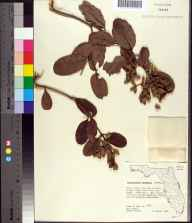 Laguncularia racemosa herbarium specimen from Port Richey, Pasco County in 1960 by James D Ray.