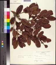 Laguncularia racemosa herbarium specimen from Big Pine Island, Lee County in 1959 by Robert K Godfrey.