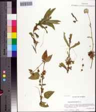 Cuscuta gronovii herbarium specimen from Tallahassee, Leon County in 2006 by Prof. Loran C Anderson.