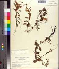 Cuscuta gronovii herbarium specimen from Dixie County in 1969 by Robert K Godfrey.