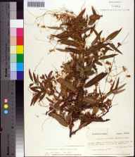 Cuscuta gronovii herbarium specimen from Tennille, Taylor County in 1975 by Prof. Loran C Anderson.