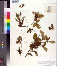 Cuscuta indecora herbarium specimen from Elinor Knapp-Phipps Park, Leon County in 1997 by Prof. Loran C Anderson.