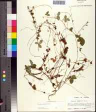 Cuscuta indecora herbarium specimen from Tallahassee, Leon County in 1991 by Prof. Loran C Anderson.