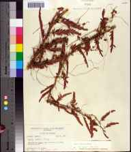 Cuscuta indecora herbarium specimen from Saint Marks National Wildlife Refuge, Wakulla County in 1957 by Robert K Godfrey.