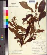 Cuscuta glandulosa herbarium specimen from Chassahowitzka, Citrus County in 1959 by James D Ray.