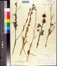 Cuscuta glandulosa herbarium specimen from Cedar Key, Levy County in 1964 by Robert K Godfrey.