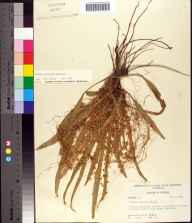 Cuscuta pentagona herbarium specimen from Cedar Key, Levy County in 1958 by Robert K Godfrey.