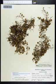 Dichondra micrantha herbarium specimen from Marianna Caverns, Jackson County in 1960 by Richard S Mitchell.