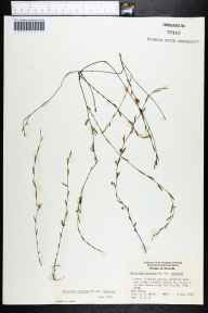 Evolvulus sericeus var. sericeus herbarium specimen from Fort Myers, Lee County in 1961 by R R Smith.