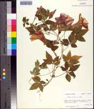 Ipomoea cairica herbarium specimen from Franklin County in 1984 by Prof. Loran C Anderson.