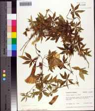 Ipomoea cairica herbarium specimen from Pensacola, Escambia County in 1975 by Robert K Godfrey.