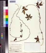Ipomoea cairica herbarium specimen from Altamonte Springs, Seminole County in 1964 by Paul O Schallert.