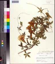 Ipomoea cairica herbarium specimen from Tallahassee, Leon County in 1977 by Tom Woolley.