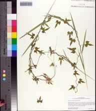 Ipomoea cordatotriloba herbarium specimen from Barberville, Volusia County in 2002 by Cecil R Slaughter.