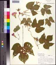 Ipomoea hederacea herbarium specimen from Tallahassee, Leon County in 1991 by Prof. Loran C Anderson.