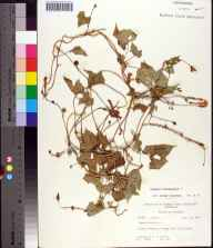 Ipomoea hederifolia herbarium specimen from Bristol, Liberty County in 1964 by Robert K Godfrey.
