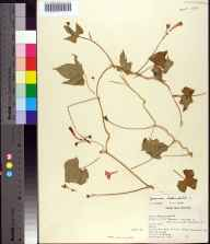 Ipomoea hederifolia herbarium specimen from Florida State University Campus, Leon County in 1949 by C Jackson.