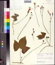 Ipomoea hederifolia herbarium specimen from Chattahoochee in 1978 by Robert K Godfrey.
