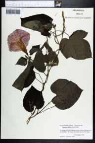 Ipomoea indica herbarium specimen from McGregor, Lee County in 1998 by Jennifer L Nelson.