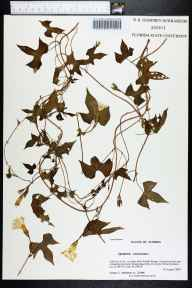 Ipomoea lacunosa herbarium specimen from Saint Marks National Wildlife Refug, Wakulla County in 2007 by Prof. Loran C Anderson.