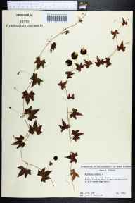 Melothria pendula herbarium specimen from Gulf Breeze, Santa Rosa County in 1989 by James R Burkhalter.