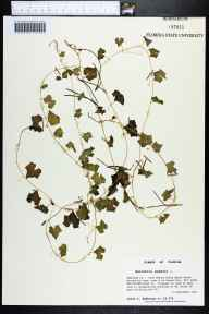 Melothria pendula herbarium specimen from Fred Gannon Rocky Bayou State Recreation Area, Okaloosa County in 1994 by Prof. Loran C Anderson.