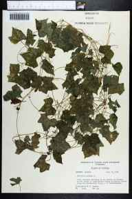Melothria pendula herbarium specimen from Chattahoochee, Gadsden County in 1958 by Robert K Godfrey.