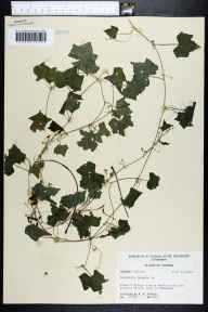 Melothria pendula herbarium specimen from Newport, Taylor County in 1955 by Robert K Godfrey.