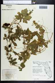 Momordica charantia herbarium specimen from Oakland, Orange County in 1958 by Robert Kral.