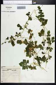 Momordica charantia herbarium specimen from Stuart, Martin County in 1962 by Robert Kral.