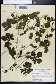 Momordica charantia herbarium specimen from Indian Rocks Beach, Pinellas County in 1955 by Robert K Godfrey.
