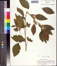 Acalypha arvensis herbarium specimen from Tallahassee, Leon County in 2006 by Prof. Loran C Anderson.