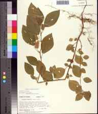 Acalypha arvensis herbarium specimen from Florida State University Campus, Leon County in 1991 by Prof. Loran C Anderson.