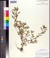 Acalypha gracilens herbarium specimen from Haw Creek, Flagler County in 2002 by Cecil R Slaughter.