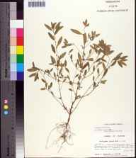 Acalypha gracilens herbarium specimen from Fred Gannon Rocky Bayou State Recreation Area, Okaloosa County in 1994 by Prof. Loran C Anderson.