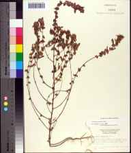 Acalypha gracilens herbarium specimen from Arcadia, DeSoto County in 1962 by Derek Burch.