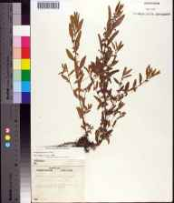 Acalypha gracilens herbarium specimen from Ocala, Marion County in 1962.