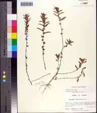 Acalypha gracilens herbarium specimen from Bloody Bluff Island, Franklin County in 1985 by Prof. Loran C Anderson.