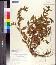 Acalypha gracilens herbarium specimen from Fernandina Beach, Nassau County in 1969 by Robert K Godfrey.