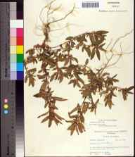 Acalypha gracilens herbarium specimen from Port Charlotte, Charlotte County in 1964 by Robert K Godfrey.