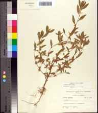 Acalypha gracilens herbarium specimen from Rock Pond, Hernando County in 1958 by Robert K Godfrey.