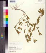 Acalypha gracilens herbarium specimen from Bristol, Liberty County in 1965 by Sidney McDaniel.