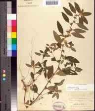 Acalypha gracilens herbarium specimen from Eau Gallie, Brevard County in 1896 by Allen Hiram Curtiss.