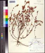 Acalypha gracilens herbarium specimen from Aucilla River, Taylor County in 1970 by R L Lazor.