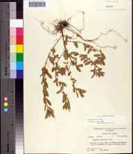 Acalypha gracilens herbarium specimen from Geneva, Volusia County in 1957 by Robert Kral.