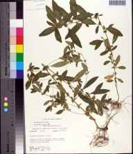 Acalypha gracilens herbarium specimen from Aucilla River, Jefferson County in 1972.